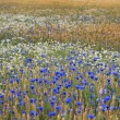 Wheatfield with flowers — Stock Photo
