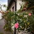 Picturesque street with rose bush — Stock Photo