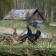 Stock Photo: Two hens