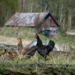 Two hens — Foto Stock