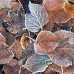 ������, ������: Frozen brown leaves