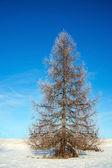 Bare tree in winter — Stock Photo