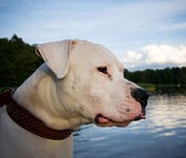Dogo Argentino — Stock Photo
