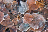 Frozen brown leaves — Foto Stock