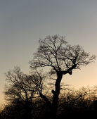 Silhouette of a tree — Stock Photo