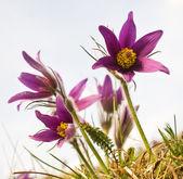 Pasque flowers — Stock Photo