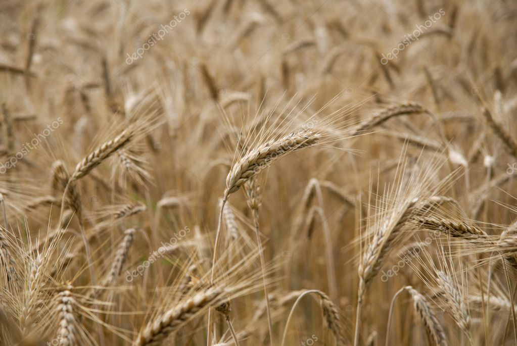 Ripe wheat in a field — Stock Photo #7215131