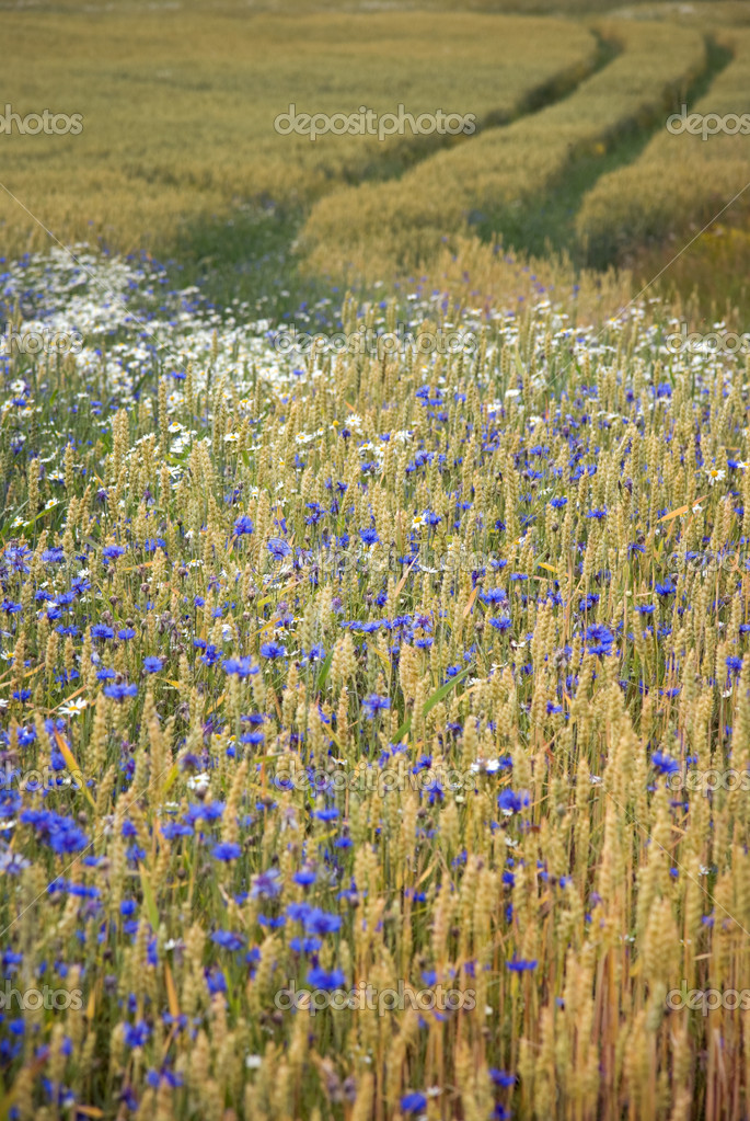 Wheatfield with corn flowers and daisies — Stock Photo #7215911