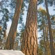 Pine tree in winter — Stock Photo #7237842