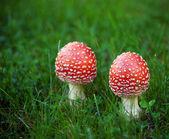 гриб мухомора — Стоковое фото