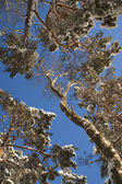 Trees in winter — Стоковое фото