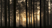 Sunset in foggy forest — Stock Photo