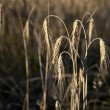 Stock Photo: Close up of wheat