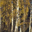 Birch trees in autumn - Stok fotoğraf