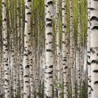 Birch trees — Stock Photo #7251671