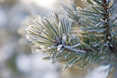 Needles in winter — Stock Photo