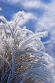Grass with rime frost — Stock Photo