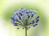 Allium flower — Stock Photo
