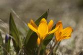 Yellow crocus — Stock Photo