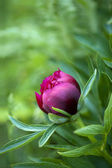 红牡丹芽 — 图库照片