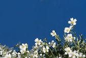 White flowers on blue sky — Stock Photo