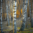 Birch trees at sunset - Stok fotoğraf