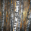 Birch trees in evening light - Stok fotoğraf