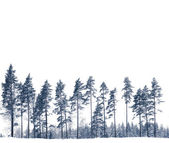 Pine rees in winter — Stock Photo