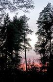 Sylwetki drzew sosny — Zdjęcie stockowe