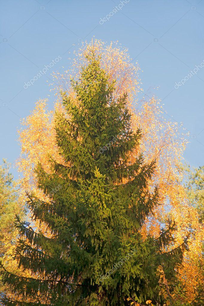 Картинки ель в лесу осенью