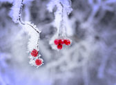 Red berries covered in ice — Stock Photo