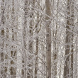 Aspen trees in winter — Stock Photo
