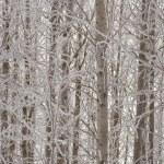 Aspen trees in winter — Stock Photo
