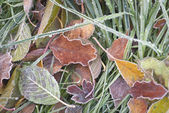 Autumn leaves and frozen grass — Stock Photo