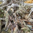 Root of dead tree - Stock Photo