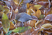 Leaves with ice crystals — Stock Photo