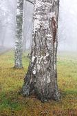 árvore de vidoeiro em nevoeiro — Foto Stock