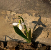 Snow drop — Stock Photo
