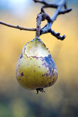Pear ina tree — Stock Photo