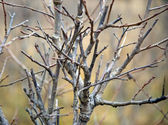 Twigs with buds in spring — Stock Photo