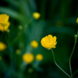 Buttercups — Stock Photo #7542729