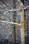 Bare trees with snow — Stock Photo