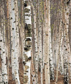Birch trees — Stock Photo