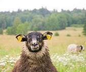 Black sheep — Stock Photo
