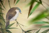 Pájaro pergamino chino — Foto de Stock