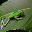 Stock Photo: Blue-sided leaf frog-2