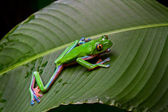 Blue-sided leaf frog-2 — Stock Photo
