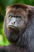 Howler monkey 2 — Stock Photo