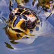 Close up of a Hawksbill turtle's face — Stock Photo