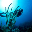 Scuba diver on a tropical reef — Foto de Stock